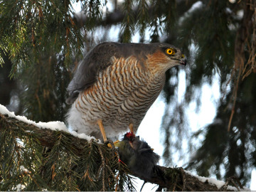 Eurasian sparrowhawk. Photo by Alexey Gribkov