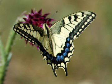 European swallowtail. Photo by Alexey Gribkov