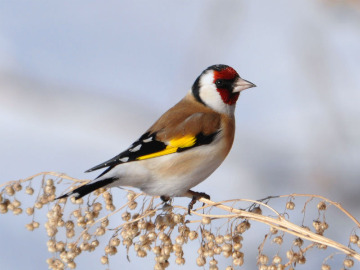 Goldfinch. Photo by Alexey Gribkov
