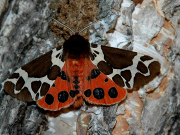 Garden tiger moth. Photo by Alexey Gribkov