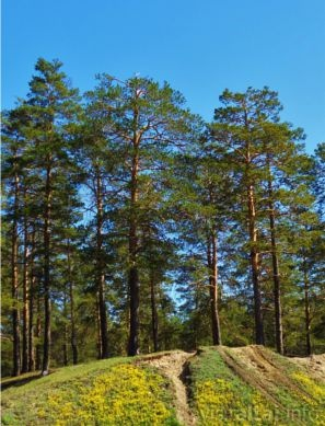 Band-Type Pine Forest